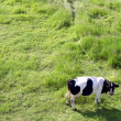 Cow on green field — Stock Photo