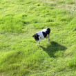 Cow on open field - from top — Stock Photo