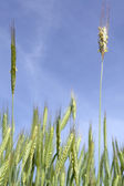 Wheat with blue sky — Stock Photo