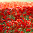 Poppy — Stock Photo #2531860