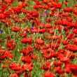 Spring landscape - red poppies — Stock Photo