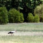 Stork — Stock Photo #2532348