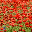 Stock Photo: Beautiful poppies