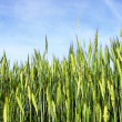 Stock Photo: Spring scene - wheat with blue sky