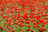 Beautiful poppies — Stock Photo
