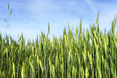 Spring scene - wheat with blue sky — Stock Photo