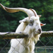 White goat — Foto de Stock