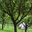 Apple tree - Stockfoto