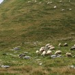 Lonely shepherd - Stockfoto