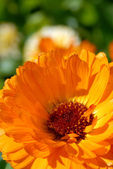 Orange flower closeup — Stock Photo
