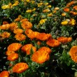 Orange and Yellow Flower Meadow - Stock Photo