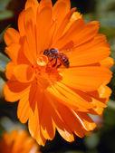 Bee on orange flower — Stock Photo