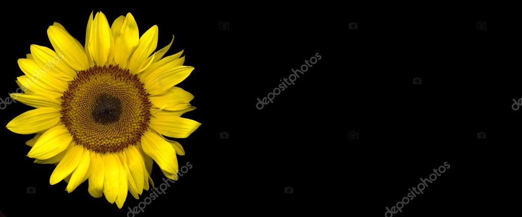 Sunflower on a black background  Stock Photo #1950440