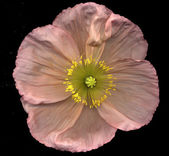 Pink poppy — Stock Photo