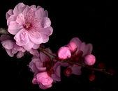 Roze bloesem — Stockfoto