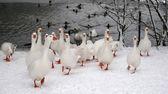 Geese — Stock Photo