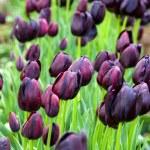 Purple tulips — Stock Photo