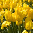 Yellow tulips — Stock Photo #2087980