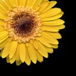 yellow gerbera — Stock Photo