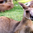 Royalty-Free Stock Photo: Kangaroo