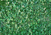 Clover and grass — Stock Photo