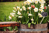 Daffodils in planter — Stock Photo
