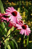 Fioletowy echinacea — Zdjęcie stockowe