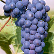 Bunch of concord grapes - Stock Photo