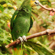 Stock Photo: Green amazon parrot