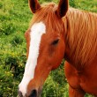 Stock Photo: Brown horse close up