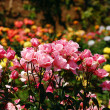 Garden of pink roses — Stock Photo