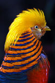 Golden pheasant — Stock Photo