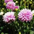 Purple dahlias — Stock Photo #2049000