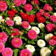 Zinnia garden — Stock Photo #2049202