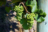 Bunches of green grapes — Stock Photo