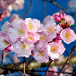 Stock Photo: Pink cherry blossoms