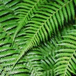 Stock Photo: Green fern leaves