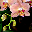Stock Photo: Pink moth orchid