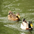 Royalty-Free Stock Photo: Mallards chasing each other