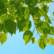 Green  tree leafs against blue sky — Stock Photo