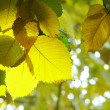 Yellow  leafs of tree — Foto Stock