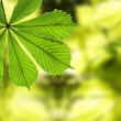 Leaf of chestnut against defocused back — Stock Photo #2024975