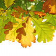 Stock Photo: Leafs of oak in autumn