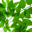 Green branch of tree close-ap — Stock Photo