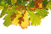 Leafs of oak in autumn — Stock Photo
