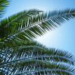 Palm leafs on blue sky — Stock Photo #2030920