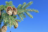 Fur-tree against blue sky — Stock Photo