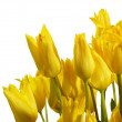 Stock Photo: Yellow tulips