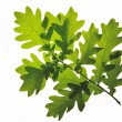Stock Photo: Oak leafs isolated