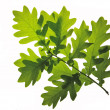Oak leafs isolated - Stock Photo